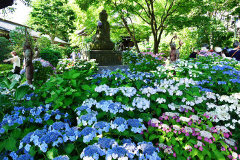 Colorful flowers of hydrangea covered with the precincts of Hasedera Temple.