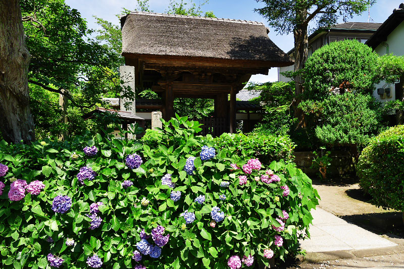 The entrance of Gokurakuji Temple with hydrangea flowers.
