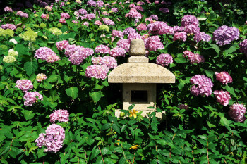 A stone lantern and hydrangea flowers.