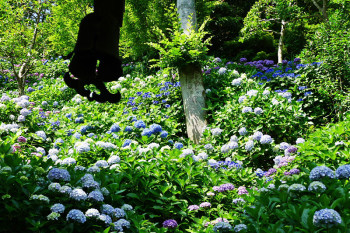 Mountain path of hydrangea (ajisai) in Hasedera Temple.