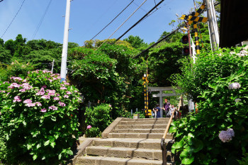 A railroad crossing that is also the entrance of Goryo Jinja Shrine is covered with hydrangea flowers.
