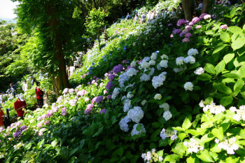 Lots of hydrangea flowers bloom at Hasedera Temple.