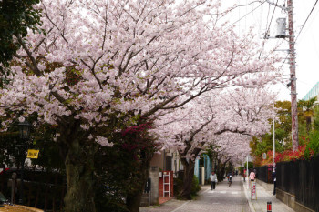 Cherry trees are lining along the road between school and houses.