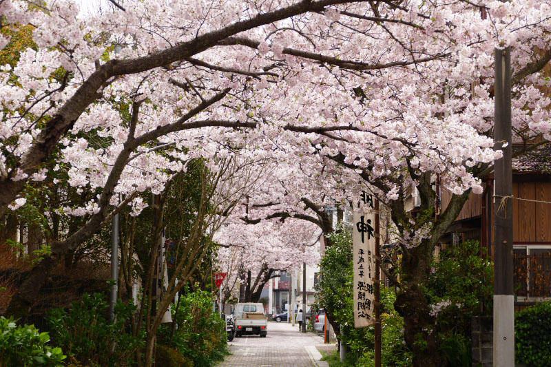 All over the crossroad are covered with cherry blossom