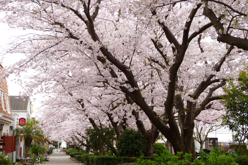 Big cherry trees are lined in the center of residential area of Shichirigahama.