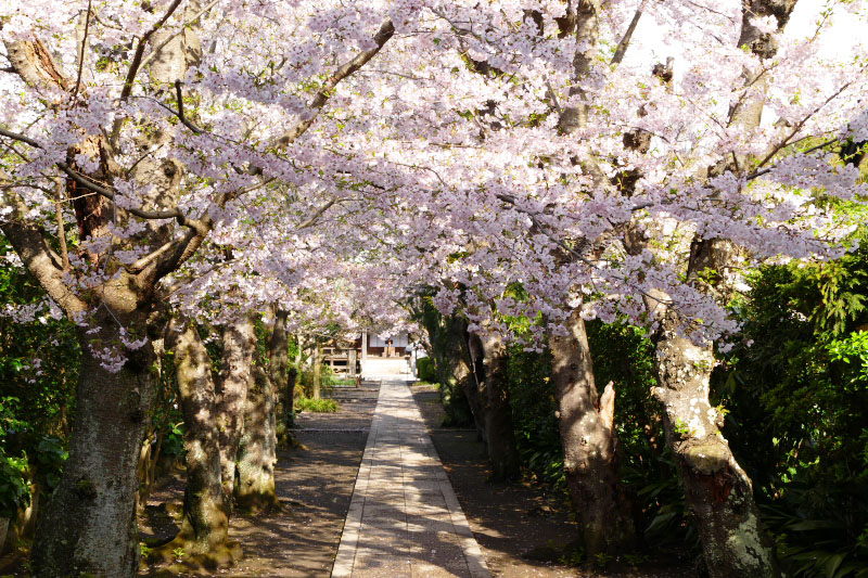 Fully bloomed cherry flowers color the approach path of Gokurakuji Temple.