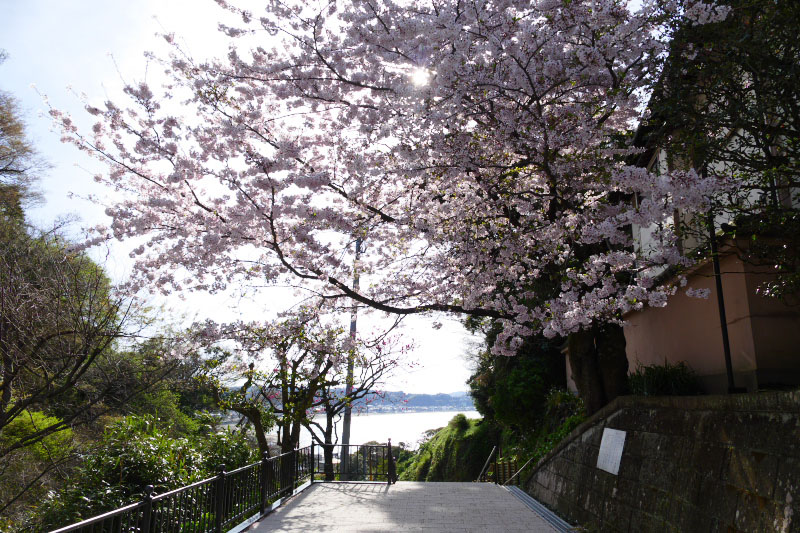 Cherry blossom and ocean-view of Kamakura city in Jojuin Temple