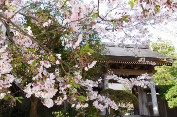 Sakura flowers and the gate of Jojuin Temple.