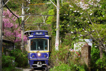 A Enoden train passing under the spring flowers at Goryo Jinja Shrine.