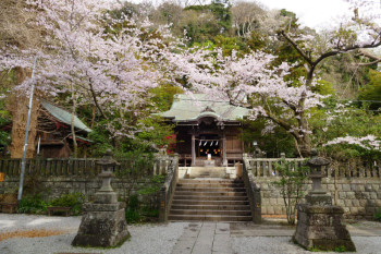 Main shrine building of Goryo Jinja with cherry blossoms.
