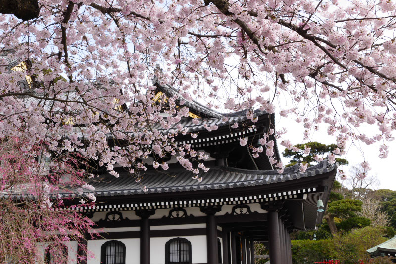 Hasedera's main hall building and full bloom cherry blossom.