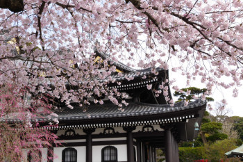 Cherry blossoms bloom in Hasedera Temple in the beginning of April