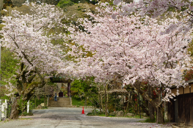 Fantastic view of full bloom cherry blossom at Kosokuji Temple.