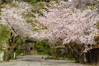 Fantastic cherry blossoms in front of Kosokuji Temple in Hase, west of Kamakura.