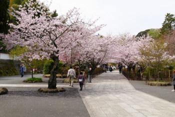 Cherry trees are lined and bloom in the front garden of Kenchoji Temple.