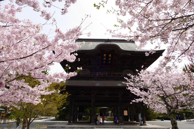 Cherry blossoms in full bloom covered the gate of Kenchoji Temple.