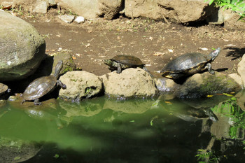 Turtles are sunbathing at the pond of the garden.