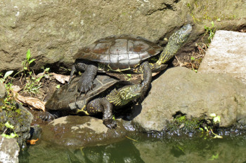 Turtles living in the pond in Nakatsunomiya Garden.