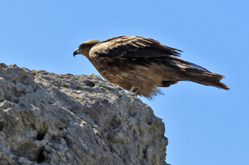 A black kite is in above the rock.