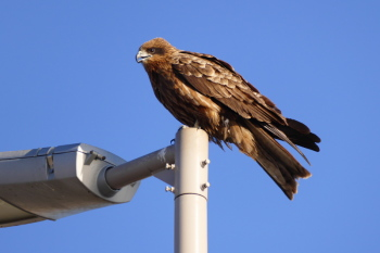 A Black kite on the street light.