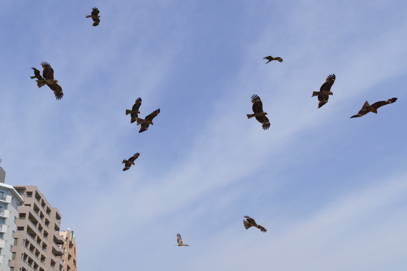 A group of Black kites fly lower at the beach.