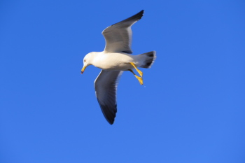 A flying seagull.