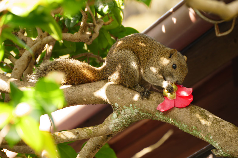 A squirrel bites a flower.