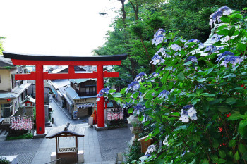 Red torii gate and hydrangea flower.