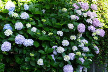 Hydrangea flowers at the stairway.