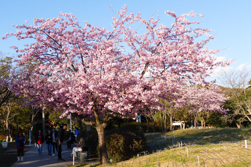 Kawazu-zakura a kind of fast blooming cherry tree in full bloom from the middle of Feb.