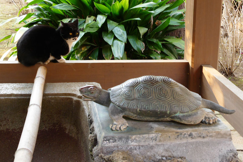 A black cat watching a object of turtle at the shrine in Enoshima