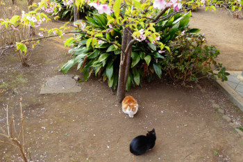 Two cats under the cherry blossoms.