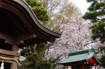 Cherry blossoms and shrine building in Enoshima.