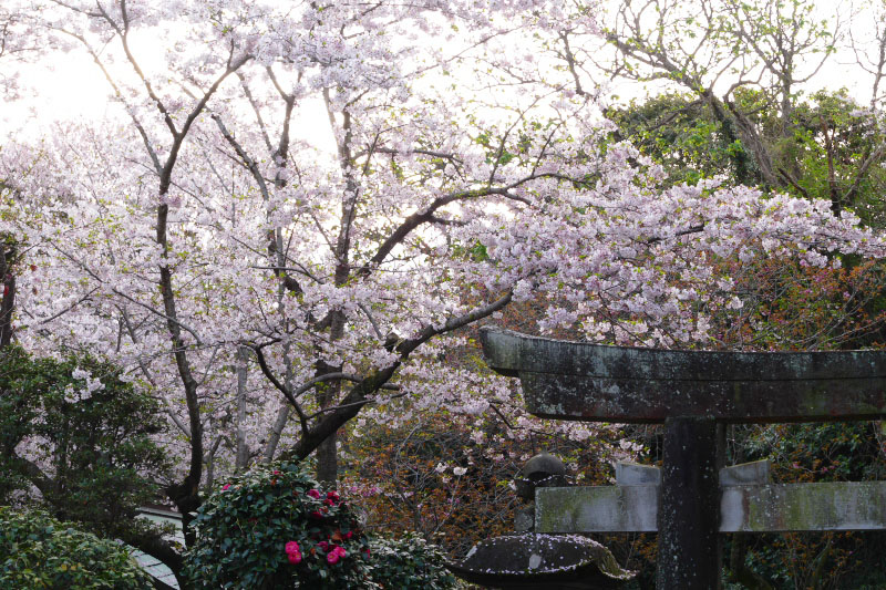 Old stone torii gate and cherry flowers.