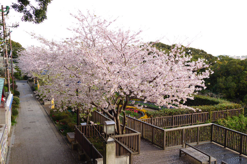 Fully bloomed cherry trees are lined in Enoshima Island.
