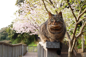 It is also a scene that seems to be Enoshima Island that you can see the cat and cherry blossom together.