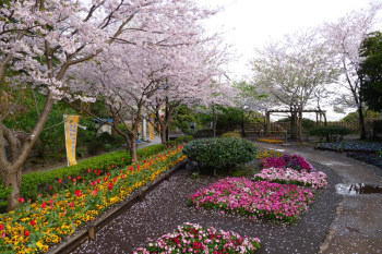 All the early spring flowers are in full bloom at the garden in Enoshima.