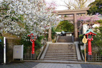 Beautiful white and pink cherry blossom are in full blooom around the Torii gate.