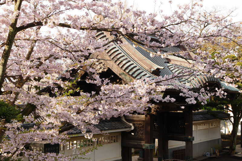 Cherry blossoms and the gate of Ryukoji Temple.