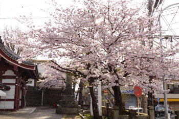 Some big cherry trees are in full bloom around the gate of Ryukoji Temple.