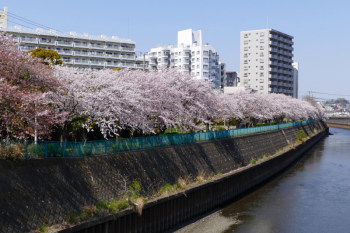 There are also many cherry blossom trees in the embankment of the river on the way to the park.