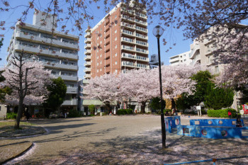 Sakura trees are also planted in the park inear Fujisawa Station.