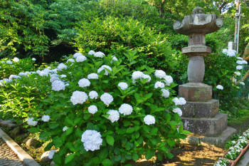 Some big hydrangea trees planted near the shrine.
