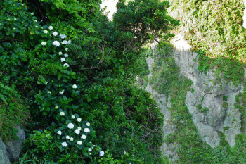 Ajisai flowers in the steep cliff slope.